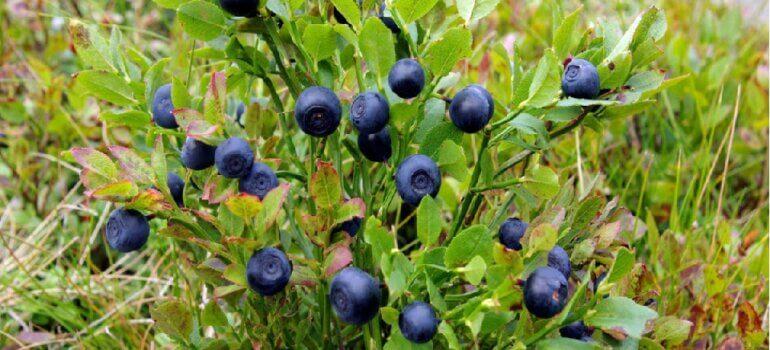 О сборе дикорастущих ягод